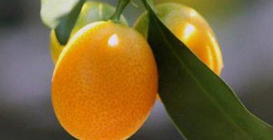 Propiedades del kumquat ecologico