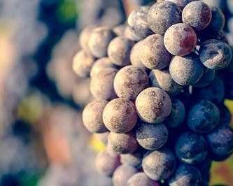 propiedades-de-la-uva