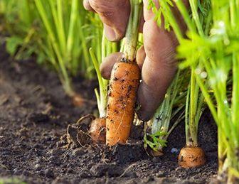 caracteristicas de la zanahoria