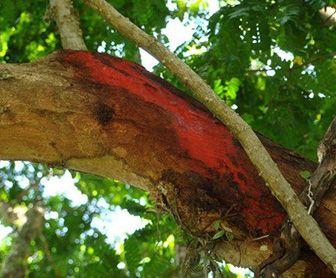 propiedades del palo de brasil