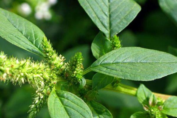 propiedades medicinales del bledo