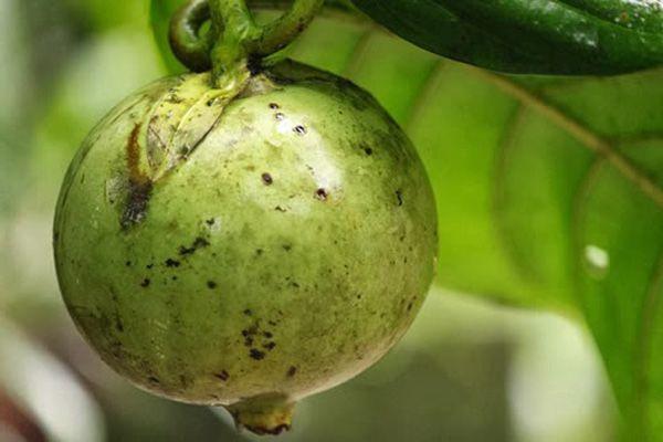 beneficios del borojo colombiano