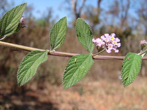 propiedades medicinales de la juanilama