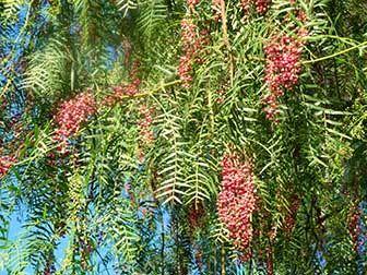 propiedades medicinales del pirul