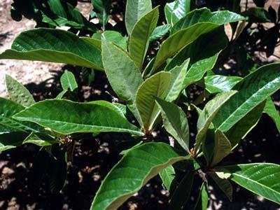 beneficios de las hojas de nispero