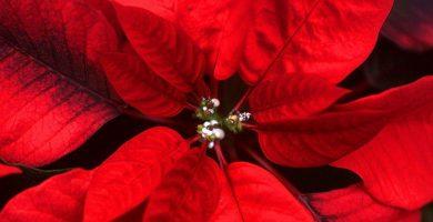 Beneficios de la flor de nochebuena
